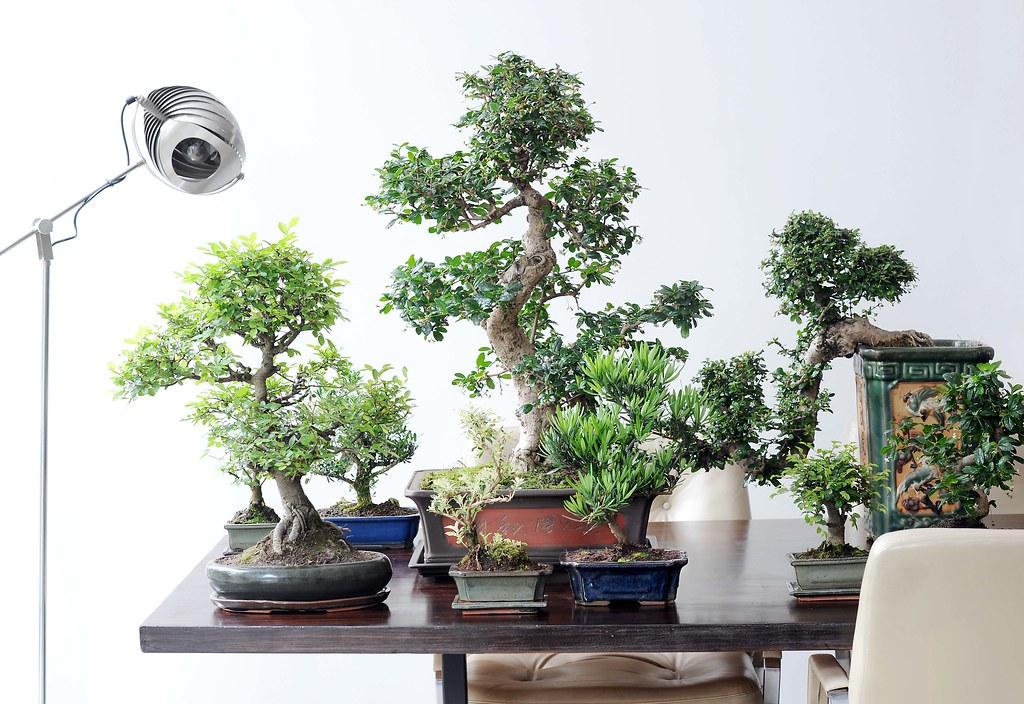 Bonsai | Bonsai | Javadoplant Holland | Flickr Javadoplant