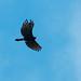 Gavião-pega-macaco (Spizaetus tyrannus tyrannus)