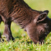Cute grazing baby goat