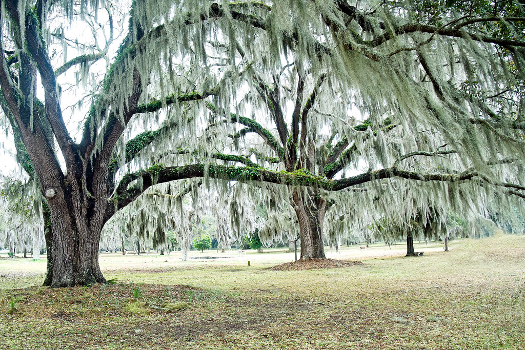 St simons island ancient live oak trees on