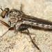Robber Fly (Machimus cf. lacinulatus)