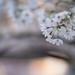 Cherry blossom in Inokashira Park #2