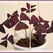 Oxalis triangularis spp. Triangularis has resurrected! #2/2