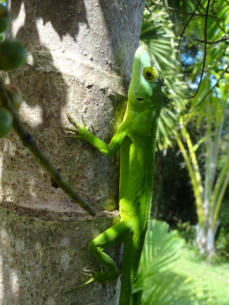 Anolis Cuvieri Puerto Rico Giant Lizard Female Puerto