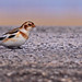 Snow Bunting Female...#25