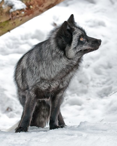 Silver Fox - Muskoka Wildlife Centre | by KMG Design