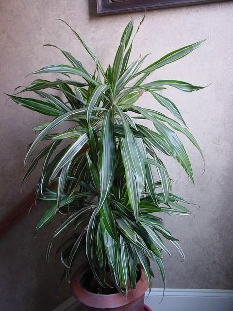 dracaena fragrans 39 warneckii 39 flickr photo sharing. Black Bedroom Furniture Sets. Home Design Ideas