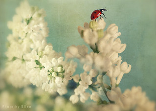 Ladybird on Lilacs | by Ellenvd