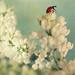 Ladybird on Lilacs