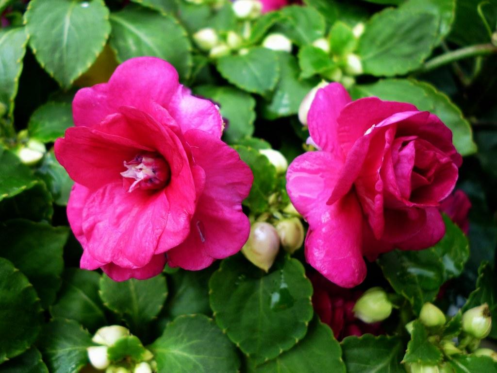 Alegr a de la casa de flor doble impatiens walleriana flickr - La casa de la alegria ...