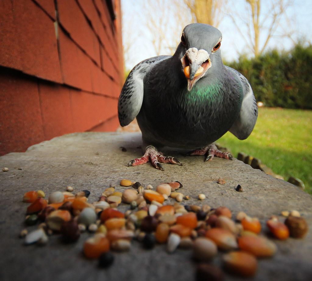 angry pigeon - photo #7