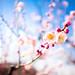 ume '12 - plum blossoms #5 (Osaka castle, Osaka)