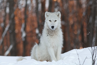ARTIC WOLF  -  LOUP ARCTIQUE | by SergeK 