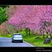 繽紛春櫻(Spring Sakura)