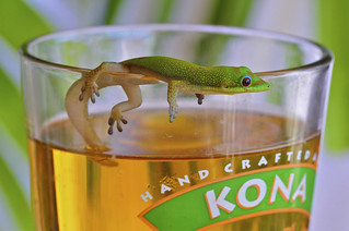 Gecko and a beer, Kona, Hawaii | by SteveD.