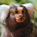 Portrait of a cute marmoset