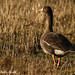 Greenland Whitefronted Goose