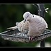 Collar Necked Dove ...