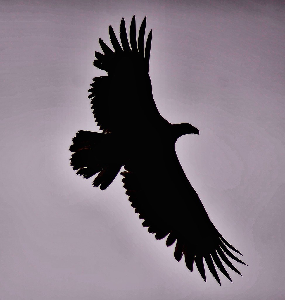 Bald Eagle Silhouette The Lighting Was Bad One Day At