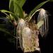 Bulbophyllum medusa