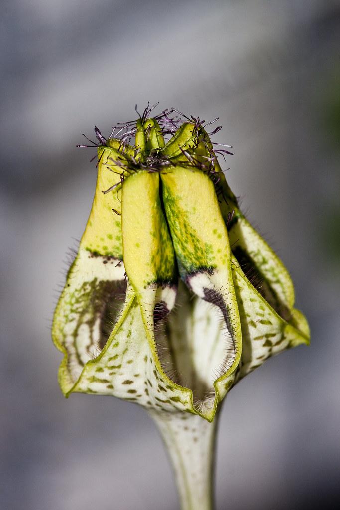 Ceropegia Radicans Ceropegia radicans ssp...