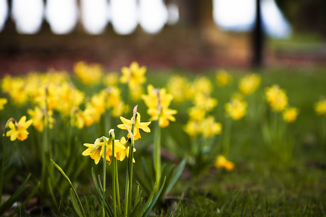 Spring is on the way daffodils in bodlondeb park conwy by roj