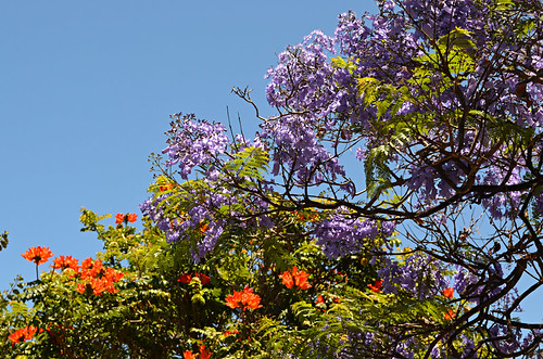 Jacaranda and tulip trees, north Tenerife