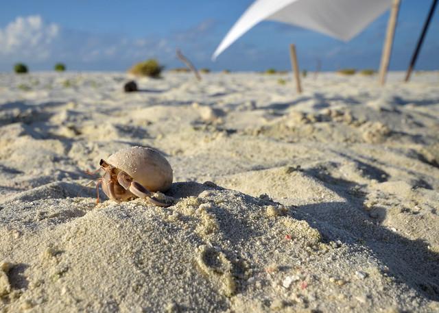 Cangrejo ermitaño caminando alegremente por la arena de la isla desierta