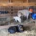 Wednesday random lamb photos 10