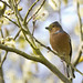 Chaffinch and Willow Catkins
