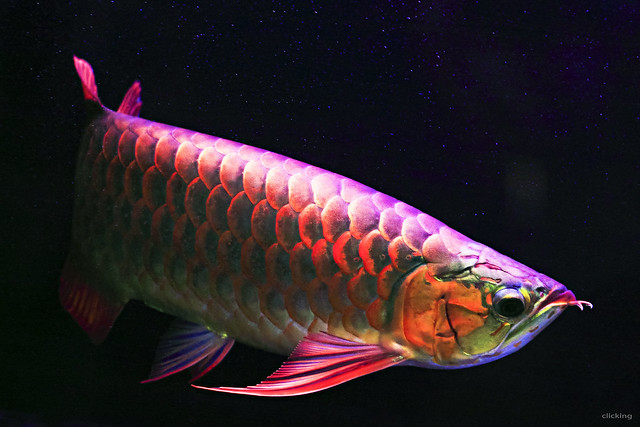 Super red asian arowana fish explored flickr photo for Red arowana fish for sale in usa