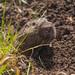 Botta's Pocket Gopher (Thomomys bottae)