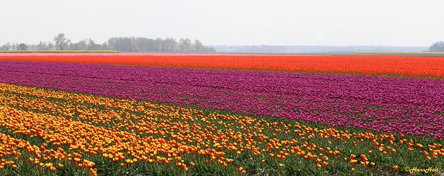 tulip fields - multicolor