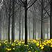 3097 Daffodils