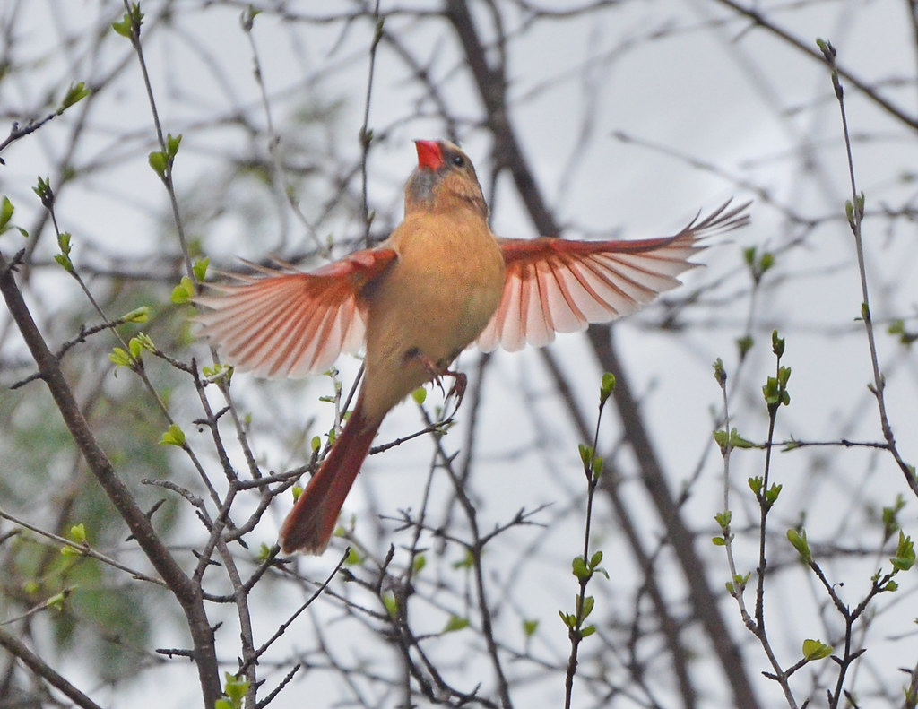 Female cardinal in flight - photo#11