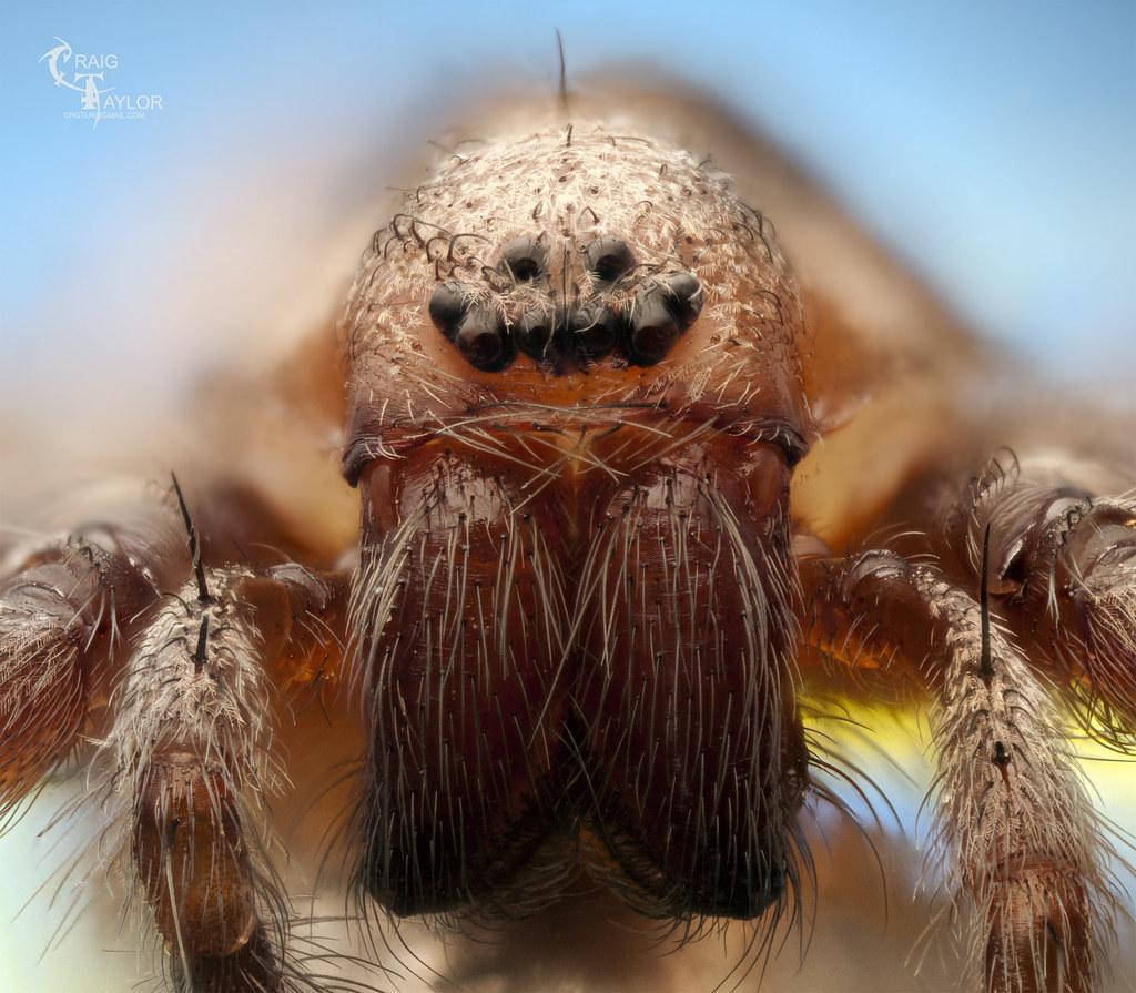House Spider | Tegenraria domestica Barn funnel weaver if ...