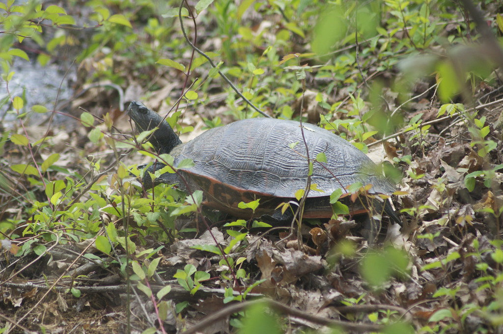 Northern Red Bellied Turtle Northern Red Bellied Turtle