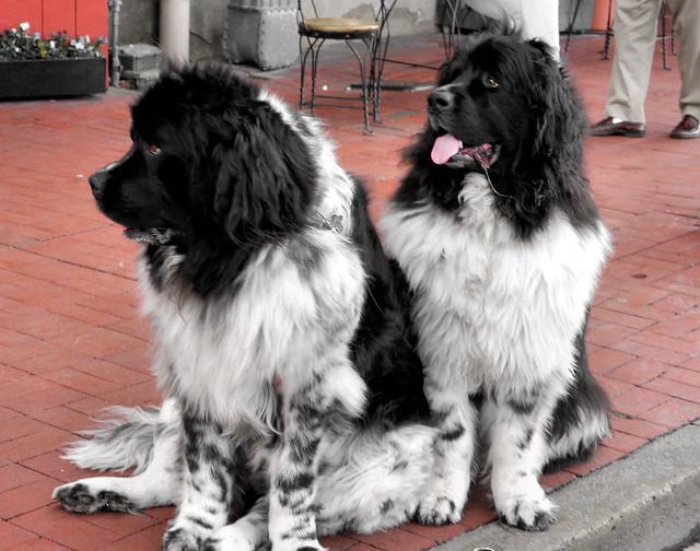 Newfoundland breed | Flickr - Photo Sharing!