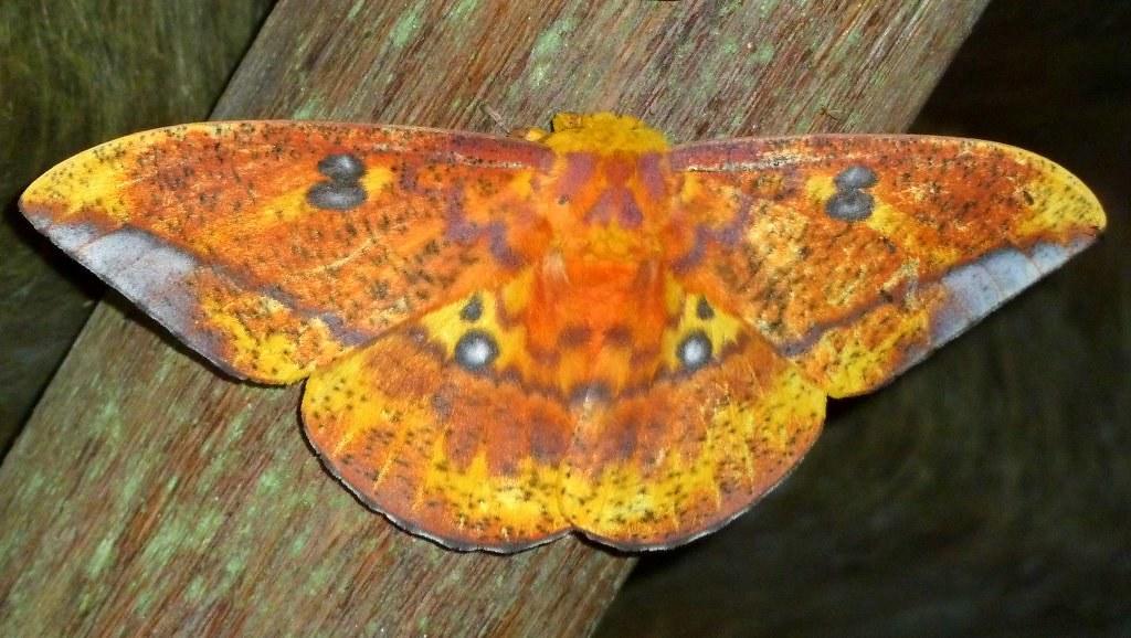 Saturniid Moth Eacles Ormondei Niepelti Saturniidae Flickr