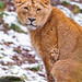 Sitting young lioness