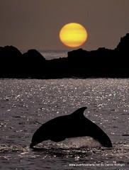 Puerto Vallarta Dolphin Sunset