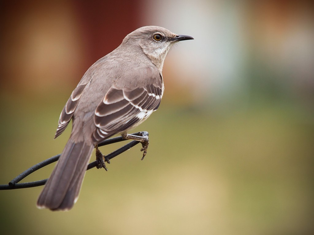Mockingbird | Not your typical feeder bird......but this Moc… | Flickr