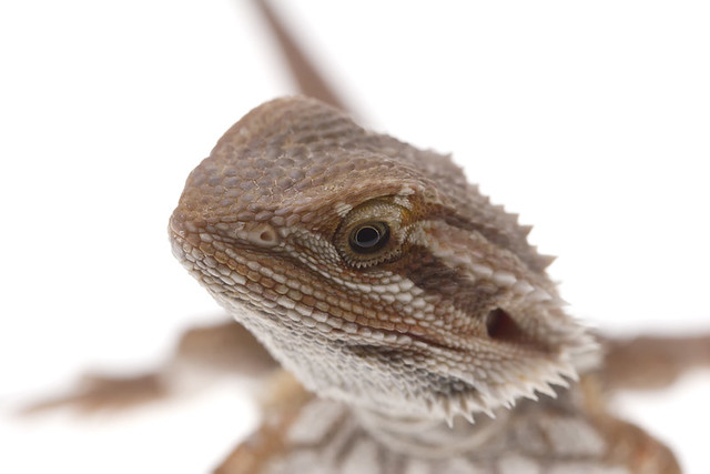 Bearded dragon on white | Flickr - Photo Sharing!