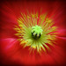 red poppy blur