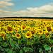Los Girasoles de Springfield. The Sunflowers in Springfield
