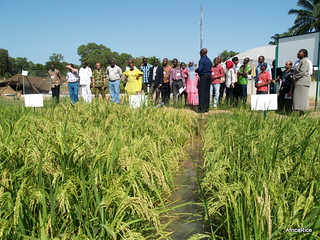 Second Annual Meeting of the Africa Rice Breeding Task | by AfricaRice