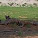 Spotted Hyena - Crocuta crocuta - Tüpfelhyäne