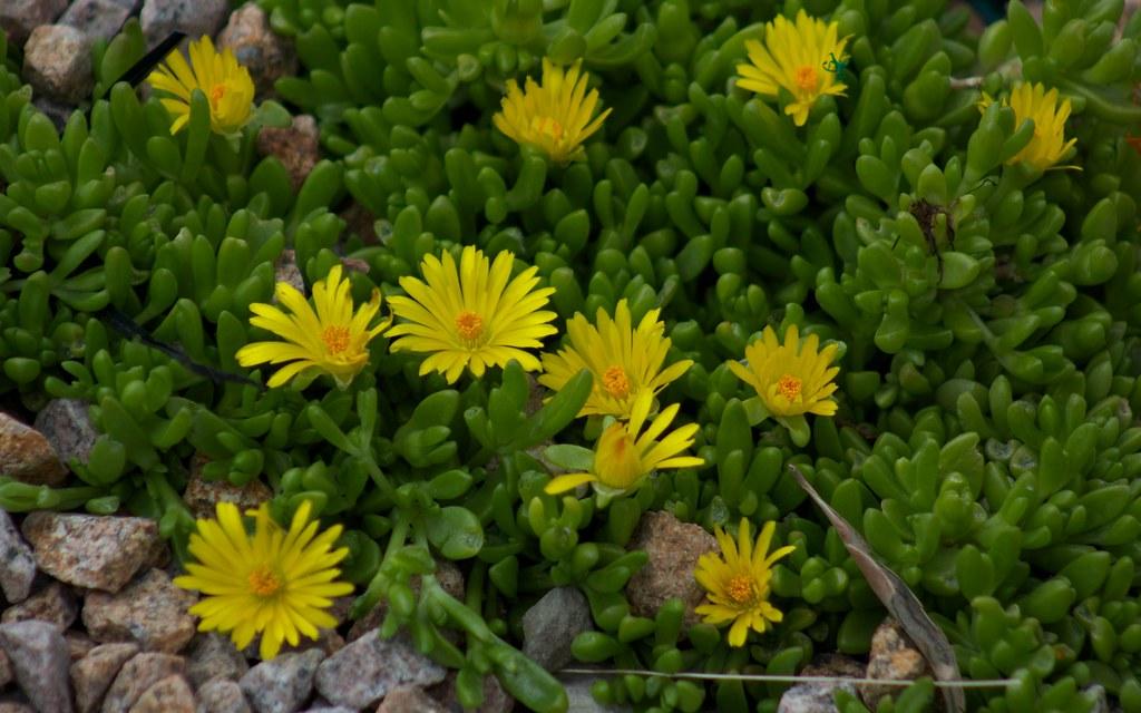 succulente plante grasse fleur jaune img 4278 flickr