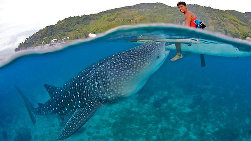 Befriending Giants - Whale Sharks of Oslob on Vimeo by Blue Sphere Media | by lotuspilgrim