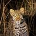 Leopard in the night